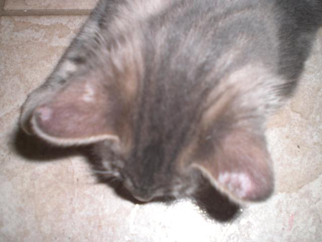 Cat Ear Blue Bumps