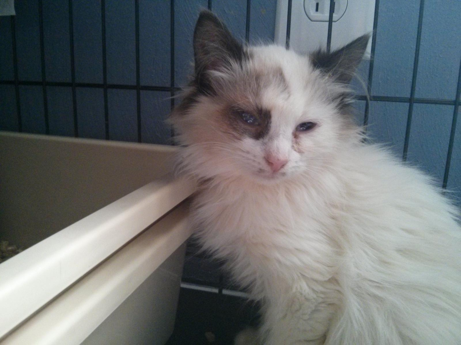 Click image for larger version  Name:Feral siamese.jpg Views:91 Size:157.4 KB ID:83489