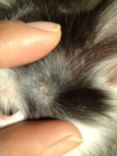 My kittens ear,bald patches and dry spots-imageuploadedbypg-free1352654593.995567.jpg