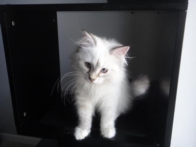 Meet my new Siberian kitten Katniss!-imageuploadedbypg-free1357792182.520971.jpg