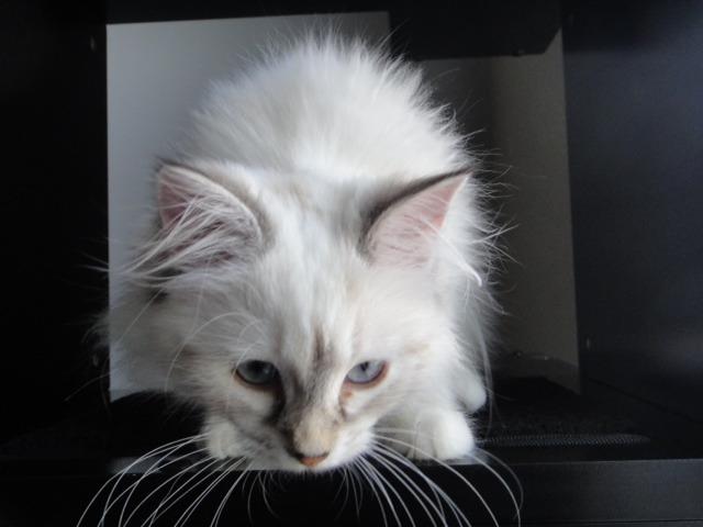 Meet my new Siberian kitten Katniss!-imageuploadedbypg-free1357792207.465947.jpg