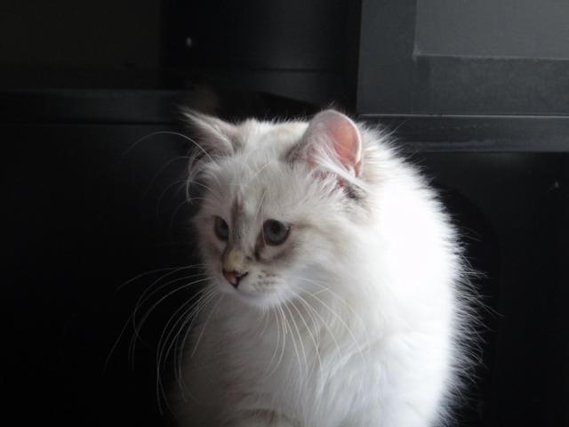 Meet my new Siberian kitten Katniss!-imageuploadedbypg-free1357792215.982703.jpg