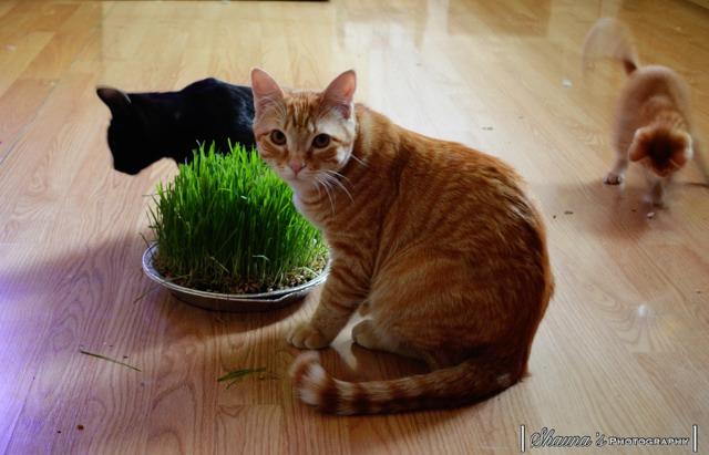 Wheat grass-imageuploadedbypg-free1360258865.142037.jpg