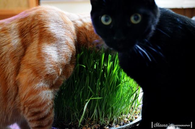 Wheat grass-imageuploadedbypg-free1360258877.281793.jpg