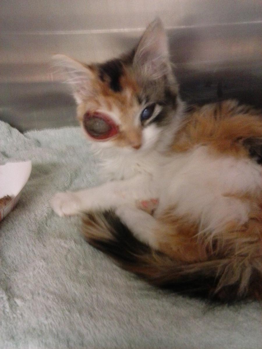 Click image for larger version  Name:Injured Eye Kitten (1).jpg Views:47 Size:99.8 KB ID:77881