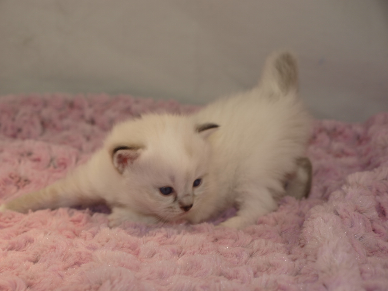 Meet my new Siberian kitten Katniss!-katniss-3-weeks.jpg