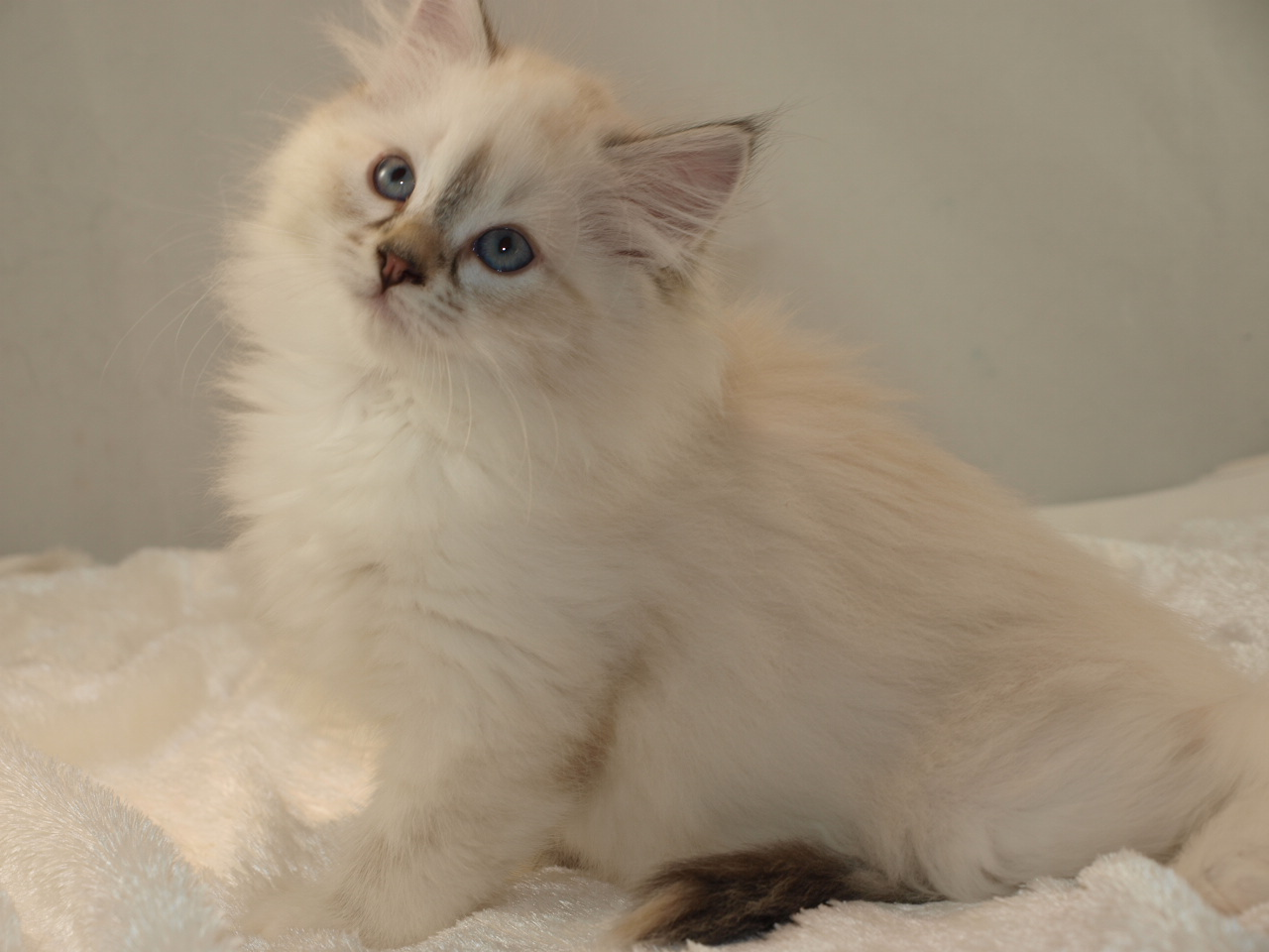 Meet my new Siberian kitten Katniss!-katniss-9-weeks-old.jpg