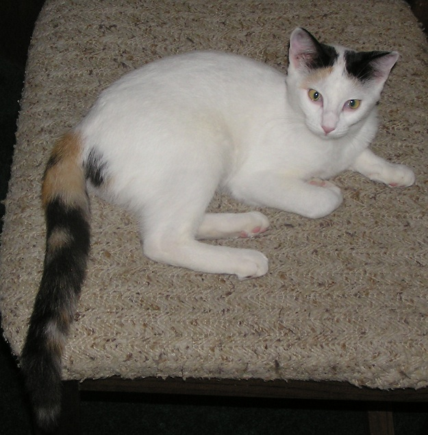 How many Calico cats in the forums?-margotkitten.jpg