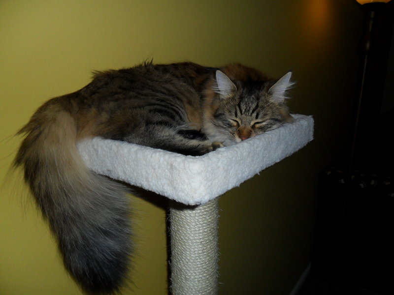 New Pics of my siberian forest cat Remy-rsz_023.jpg