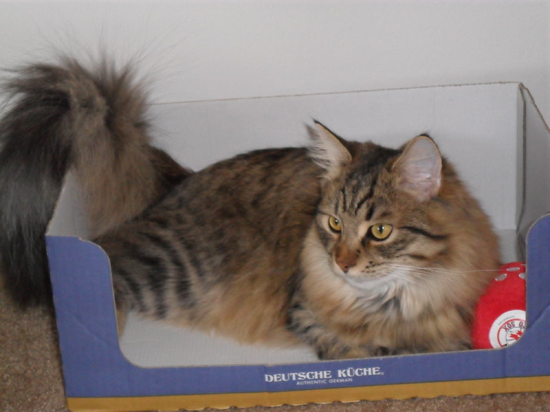 New Pics of my siberian forest cat Remy-rsz_030.jpg