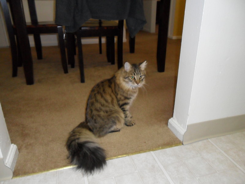 New Pics of my siberian forest cat Remy-rsz_1020.jpg