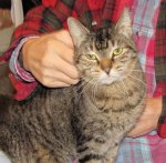 Tabby_lap sit_head scratch_12-29-2015_crop 014.jpg