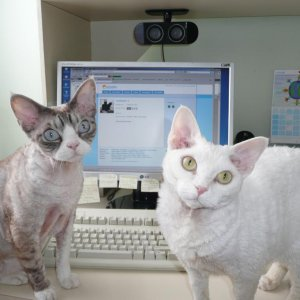 "ZUBA (Seal-Silver Lynxpoint & White neuter) and ALKEE (Gold-eyed White spay) Devon Rexes, @ 6 years, both were born in 2004.  Alkee was my ""h"