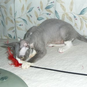 """Fitty Pisky"" @ 4 mos.  Devon Rex, neuter, blue & white bicolour  My new ""heart kitty"" who actually has a little white heart b"