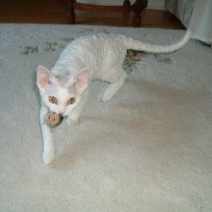 Alkitotle aka Alkee, at 5 mos.    An excellent retriever.    Gold-eyed white, spay, Devon Rex